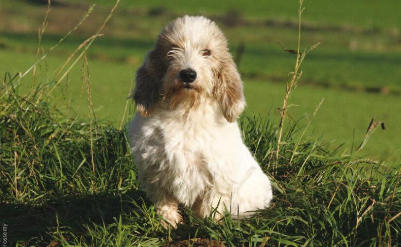 La Vendée a son chien: le griffon vendéen!